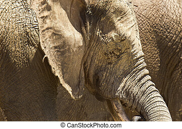 Large African elephant covered in mud