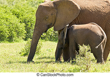 Large African elephant standing with its calf eating grass