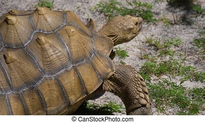 Large African Sulcata turtle. - Sulcata tortoise, African...