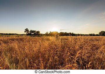Large agricultural field with cereal