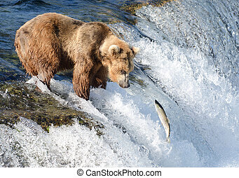 A large Alaskan brown bear attempts to catch salmon at Brooks Falls in Katmai National Park.