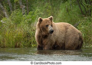 Large Alaskan brown bear sow standing in the Brooks River in Katmai National Park, Alaska