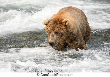 Large Alaskan brown bear wading through the river near Brooks Falls in Katmai National Park, Alaska