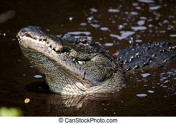 Large alligator in Florida swamp