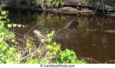Large American Alligator in a Florida swamp