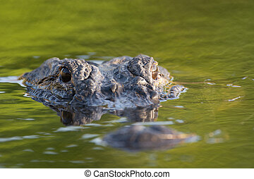 American alligator mostly submerged in the shallow water of a Florida wetland