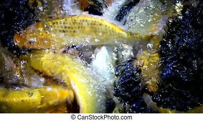 Large amount of fish feeding footage from above