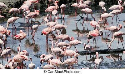 Large amount of flamingos in Africa - Large flocks of...
