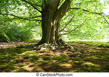 beech tree - large and old beech tree with the sun shining ...