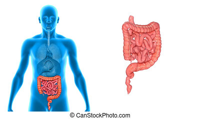 Large and small intestine - The human gastrointestinal tract...