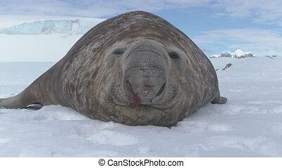 Large antarctic elephant seal take nap closeup - Large...