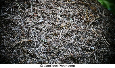 large anthill in the coniferous forest close to