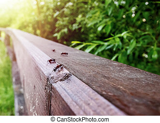 large ants crawl on wooden rails, close-up
