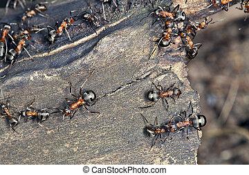 Large ants