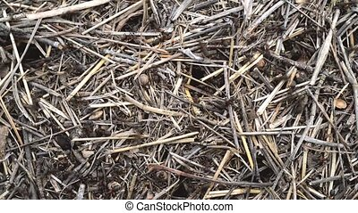 Large Ants Move Quickly on The Surface of Straw Anthill