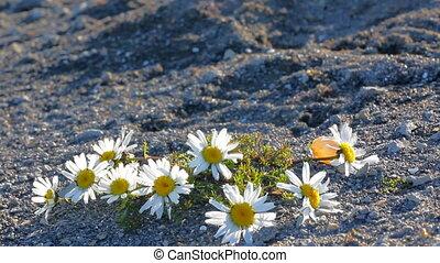 Large Arctic daisies in polar desert of Novaya Zemlya archipelago
