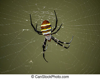 large argiope amoena spider in a web 1