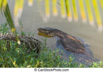 Large asian water varan in Sri Lanka