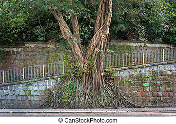 Large banyan tree growing against a wall in the mid-levels ...