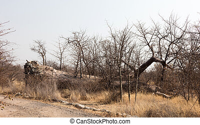 Large baobab tree fallen in Botswana