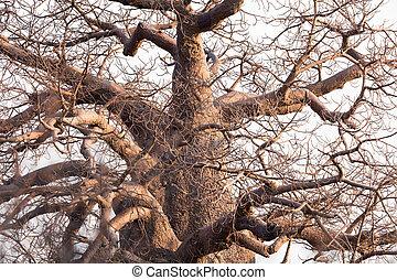 Large baobab tree in Botswana