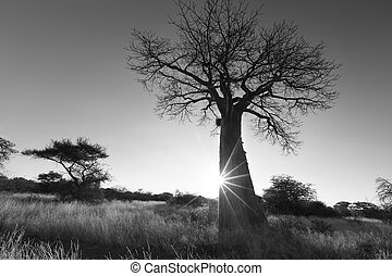 Large baobab tree without leaves at sunrise with clear sky...