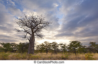 Large baobab tree without leaves at sunrise with cloudy sky
