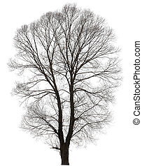 large bare tree without leaves. Isolated over white...
