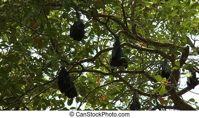 Large Bats Hanging in Tree - Handheld, low angle, medium...