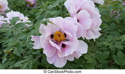 Large beautiful pink peonies close view - Large beautiful...