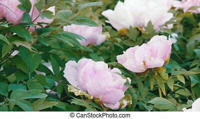 Large beautiful pink peonies in park - Large beautiful pink...