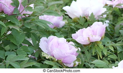Large beautiful pink peonies in the park - Large beautiful...