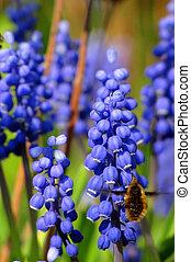 Large bee fly at grape hyacinths