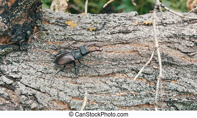 Large beetle Lucanus cervus creeps along the bark of tree. -...
