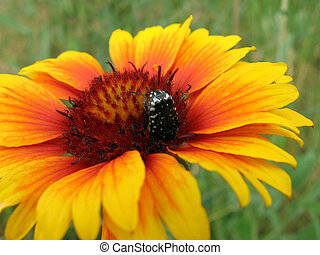 large beetle on the bright flower