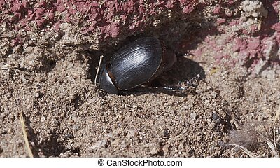 LArge beetle on the ground