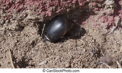 LArge beetle on the ground - Large beetle on the ground ...