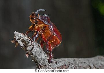 Large beetle - rhinoceros.