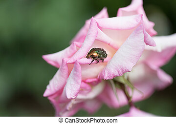Large beetle sits on the petals of pink roses