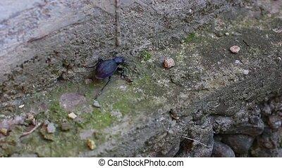 large beetle walking