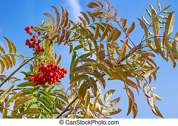 Large berries of red rowan against the blue sky