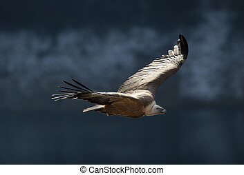 Griffon vulture flying above canyon of Uvac river - Large...