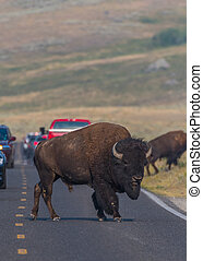 Large Bison Crosses Crowded Road
