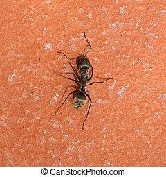 Large black ant walking