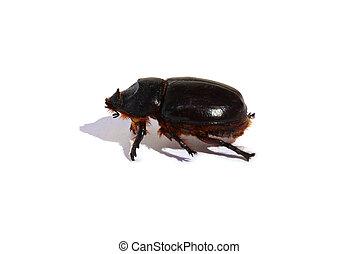 Large black beetle isolated