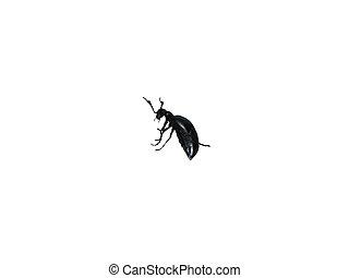 Large black beetle turned.