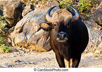Large black bull