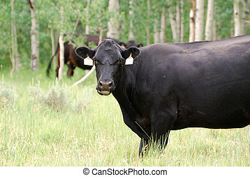 Large Black Cow