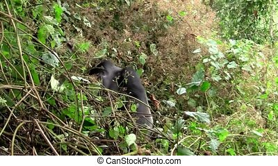Large Black Gorilla Disappearing in the Bush