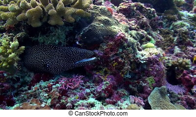 Large Black Spotted moray eel sitting along the reef in search of food. Amazing, beautiful underwater marine life world of sea creatures in Maldives. Scuba diving and tourism.